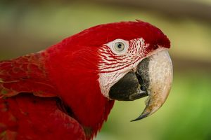 Green-winged Macaw / Red-and-green Macaw, portrait