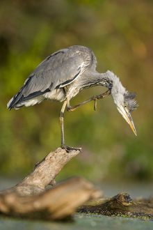 Grey Heron - Immature bird perched on floating log, preening