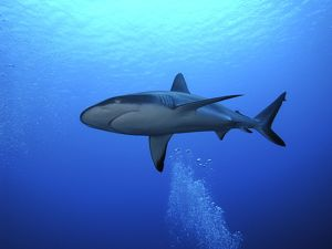 Grey Reef shark - Once common through out the Indo Pacific tropical waters these