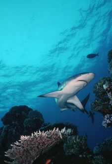 Grey Reef Shark - Shark swimming through coral reef in very clear water.