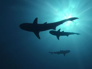 Grey Reef sharks - Once common through out the Indo Pacific tropical waters these