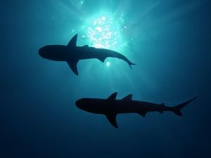 Grey Reef Sharks - Grey Reef sharks,Once common through out the Indo Pacific tropical