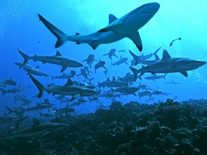 Grey Reef Sharks - swimming into the Fakarava Lagoon, an unusual sight except in