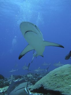 Grey Reef SHARKS - The Tumotos are the only area left in the world where sharks can