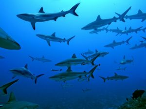 Grey Reef Sharks - in the Tumotos, French Polynesia