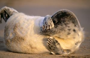 GREY SEAL - pup lying on sandy beach, covers eyes