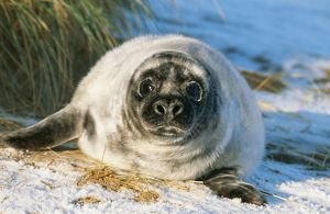 GREY SEAL - pup on snow covered beach