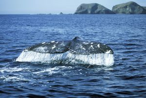 Grey Whale - Tail