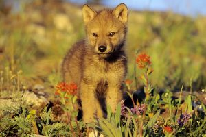 Grey Wolf - pup among wildflowers