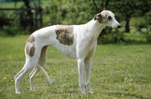 GREYHOUND DOG - white and brown standing