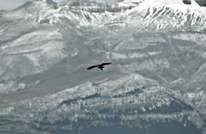 Griffon Vulture - soaring over Spanish Pyrenees
