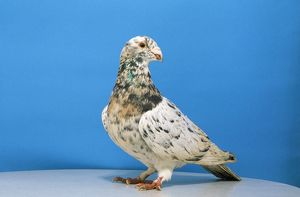 Grizzle Pigeon - male, domestic shoe breed