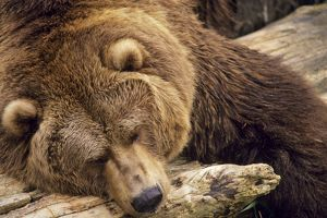 Grizzly Bear - Asleep on dead tree log