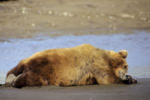 Grizzly Bear - Boar sleeping on Katmai National Park coastal beach
