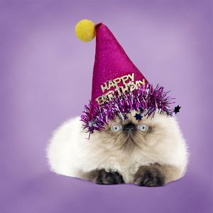 Grumpy Persian Seal Point kitten wearing a Happy Birthday party Hat