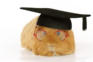 Guinea pig wearing glasses and mortar board