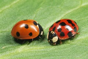 Harlequin LADYBIRD - with 7-spot ladybird (on left)