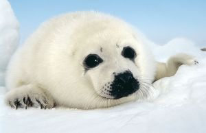 HARP SEAL pup - close up of appealing face