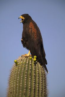 Harris' Hawk - Adult with mouth open, on saguaro cactus