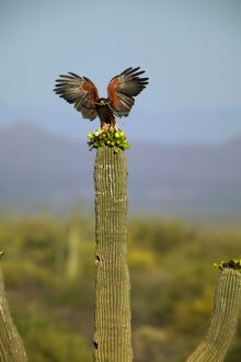 Harris' Hawk - Adult with stick in mouth and wings out-stretched, on saguaro cactus