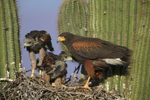 Harris' Hawk - Adult with young at nest, on saguaro cactus