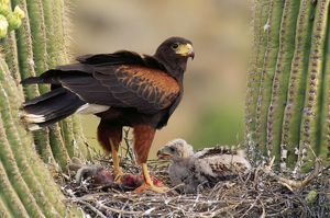 HARRIS' HAWK - on nest in saguaro cactus, with chicks