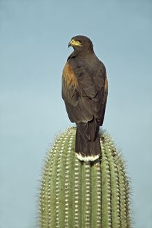 Harris' Hawk - perched on saguaro cactus