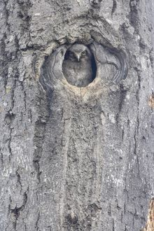 Hawk Owl - Chick looking out of nest hole
