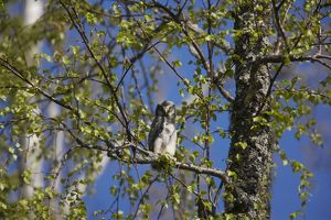 Hawk Owl - Chick that has recently left the nest