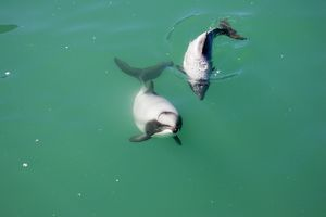 Hector's Dolphins - one of the smallest marine mammals - it is endangered due to fishing nets