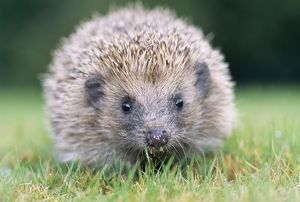 Hedgehog - close-up from front