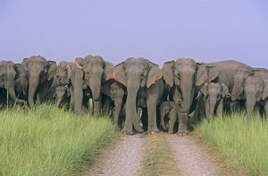 Herd of Indian / Asian Elephants blocking the track