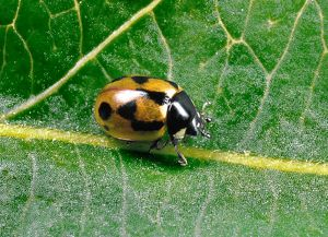 Hieroglyphic LADYBIRD - typical colour variety crawling on leaf