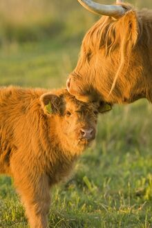 Highland Cattle - adult with young