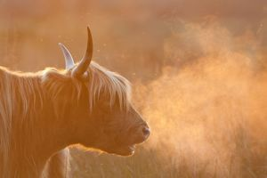 Highland Cattle - breath visible
