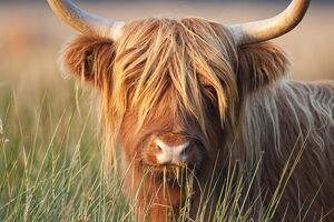 Highland Cattle - chewing on grass