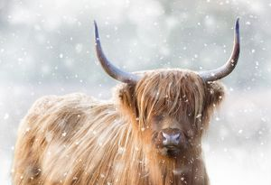 <b>Highland Cow</b><br>Selection of 9 items