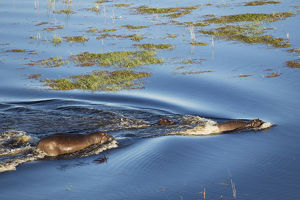 Hippopotamus - two adults with a calf in a freshwater