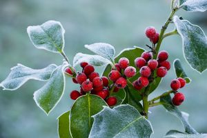 Holly Berries - covered with hoar frost