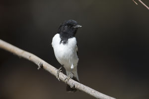 Hooded Robin - A male - perched on a thin branch