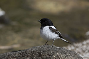 Hooded Robin - Perched on a stone in a dry riverbed