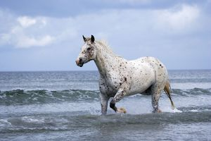 Horse Appaloosa trotting in ocean surf