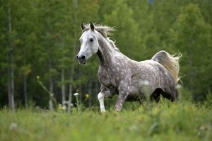 Horse - Arabian gray dapple galloping in meadow