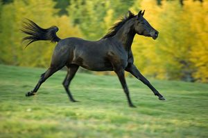 Horse - Black Arabian Mare cantering in meadow