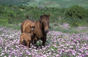HORSE - mare with foal in flowery spring meadow