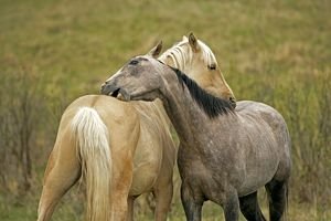 Horse - Palomino and Appaloosa grooming each other