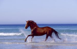 Horse - trotting through waves in sea