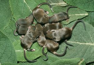 House Mouse -litter of House Mice