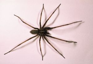 House SPIDER - hairy