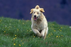Hovawart Dog - Running in meadow